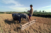 Farmer working in a paddy field with two water baffalo
