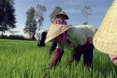Workers planting rice in paddy fields