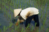 Woman planting rice in a paddy field at Laman Padi Rice Garden in CenangAsian Malaysian Southeast Asia Farming Agraian Agricultural Growing Husbandry  Land Producing Raising Female Women Girl Lady On...