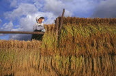 Female farm worker hanging bales of rice on to drying racks