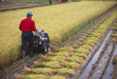 Farm worker harvesting rice field with hand pushed motorised harvester