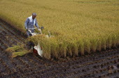 Farm worker harvesting rice field with hand held machine