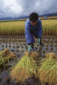 Young male farm worker harvesting rice by hand