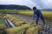 Young male farm worker harvesting rice