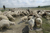 Herd of sheep drinking from water filled mud pool
