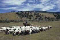 Traditional sheep herding with farmer on horseback