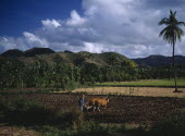 Mawon near Kuta. Man ploughing ricefields with cattle. A lone palm tree to right and banana trees and hills behind