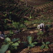 Ciamis mahogany plantation in cleared forest woman working saplings fgd