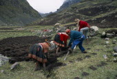 Cancha Cancha.  Quechua Indian men and women using traditional method to plough field by hand. Cuzco