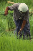 Woman pulling rice seedlings for transplanting