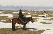 Kazakh herder on horseback with flock of sheep grazing amongst patches of snow.