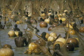 Fishing Festival.  Climax of festival when thousands of giwan ruwa fish confined in stretch of the Sokoto River are caught with hand held nets and calabashes.