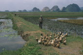 Farmer herding ducks along a path through rice paddies south of hanoi