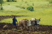 Man ploughing field with wooden plough pulled by oxen.