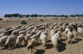 Shepherd with flock of sheep and goats in barren landscape.