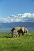 African elephant and baby with Mount Kilimanjaro in the background surrounded by clouds. Formerly Kaiser-Wilhelm-Spitze, is an inactive stratovolcano.