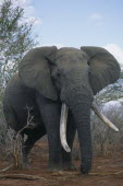 African Elephant with big tusks.