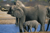 Elephant and baby drinking at pool.  Loxodonta Africana