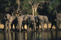 African Elephant  Loxodonta Africana  drinking at waterhole.