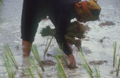 Woman bending forward to plant rice.
