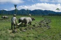 Buffalos plouging rice field.  Whasa