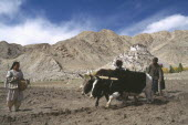 Ploughing with pair of yak during potato harvest.