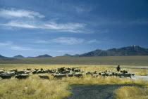 Shepherd anf flock.