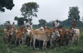 Group of cowboys on horses with cattle herd.Brasil