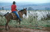 Melori cattle and cowboy on horse.Brasil Brazil