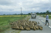 Peasant farmer herding flock of ducks across road in key NPA land reform area.