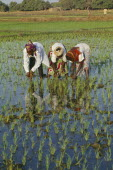 Three women working together in paddy field.