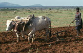 Jie woman ploughing maize field using ox drawn plough.Jie are a central subtribe of the pastoral Karamojong
