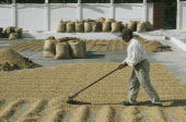 Man laying out coffee beans to dry in the sun  lots of full bags in the background.