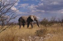 Single elephant wandering through Etosha National Park in Namibia