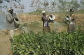 Reforestation project.  Watering tree saplings by hand.
