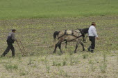 Romanian farmer and his farmhand weeding the fields with a horse drawn weeding machineRural farming poverty