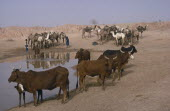 Camels and cattle at water hole.