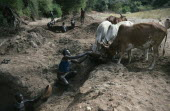 Karamojong cattle herd being watered at wells dug into dry river bed.  Pastoral tribe of the Plains Nilotes group related to the Masi