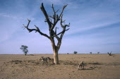 Barren landscape with dead tree and goats tryinfg to find something to eat during drought.