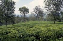 Tea garden near Bukavu Zaire