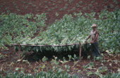 Farm worker standing by drying Tobacco leaves