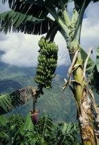 Banana tree showing fruit.