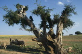 Little boy with goats climbing Argane tree to reach leaves near Essaouira.  Argane trees  Argania spinosa  are long lived and able to cope with the harsh environment.Argan African al-Magrib Ecology E...