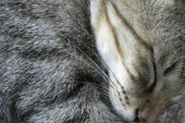 ^Tigger^  pet cat  asleep Sleep Sleeping Nap Catnap Napping Rest Asia Gray Japanese Nihon Nippon Asian Grey Sleeping Resting