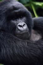 Close view of Mountain Gorilla in natural habitat in the Virunga mountain rangeAfrican Congo Zairean Central Africa