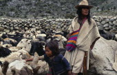 Ika shepherd Hernando with his baby brother  feeding salt to flock of sheep.Behind is the stone walled pen made mainly from rounded worn river boulders Arhuaco Aruaco indigenous tribe American Babies...