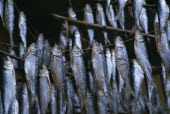 Mackerel drying on lines in fishing village on Lake Como.
