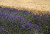 Plateau de Valensole.  Rows of lavender growing beside field of ripening barley.crop scent scented fragrant fragrance flower flowering herb arable corn cereal European French Western Europe Agricultu...