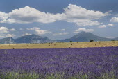 Plateau de Valensole.  Field of lavender with harvested stubble field dotted with straw bales beyond and distant mountain backdrop.  Drifts of thick white cloud in blue sky above.crop scent scented f...