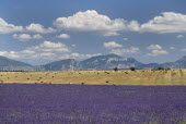 Plateau de Valensole.  Field of lavender in foreground with harvested stubble field dotted with straw bales behind and distant mountain backdrop.  Drifting white clouds in blue sky above.crop scent s...